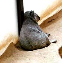 東山動物園のコアラ アオイくん