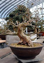 060304ina_bonsai.jpg