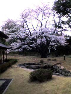 桜花亭の桜